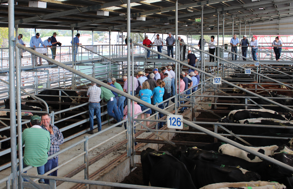 Watching a sale at Bairnsdale Saleyards.