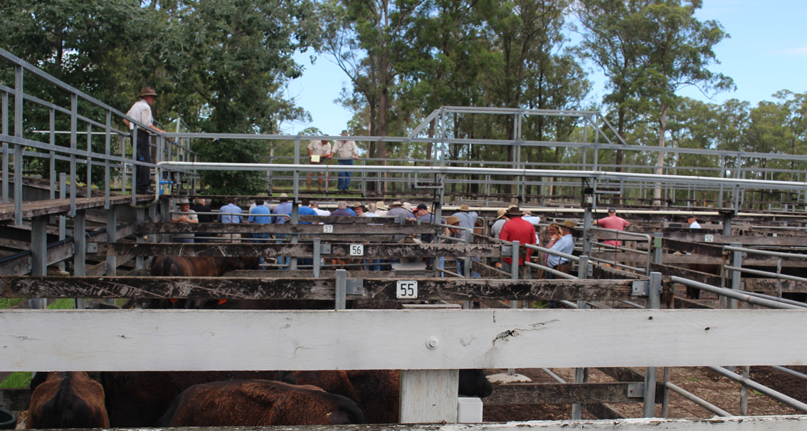 The sale gets underway at Taree Saleyards.
