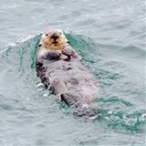 Little Otter avatar