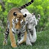 Embracing Tiger avatar