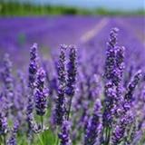 LavenderTea avatar