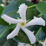 Star Jasmine avatar